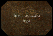 Taxus baccata - Page